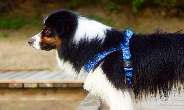 Szelki jak Julius Warsaw Dog Shine in Blue