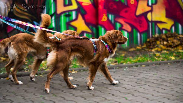 dwójnik dla psów rozdzielacz smycz na dwa psy