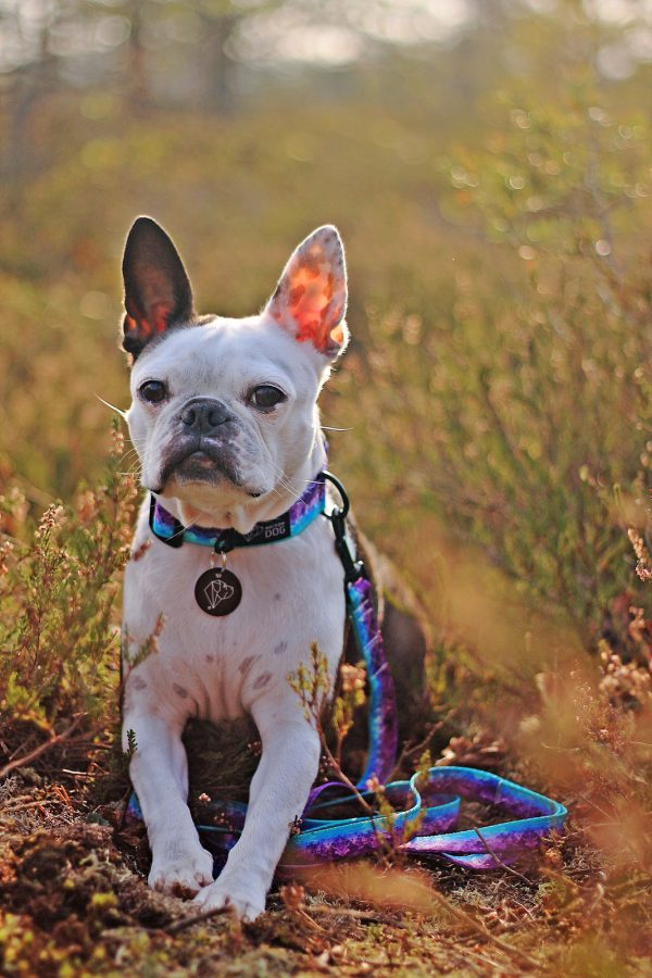 dizajnerska obroża dla psa fioletowa warsaw dog boston terier