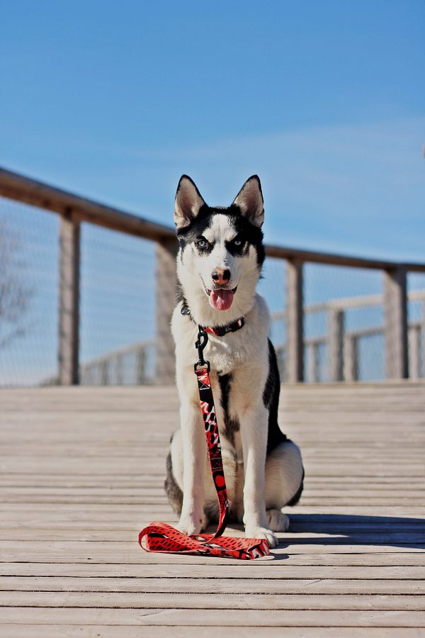 czerwona obroza i smycz husky Warsaw Dog