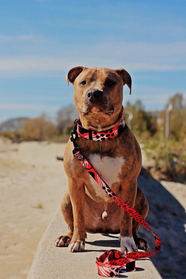 czerwona smycz i obroża dla psa nadruk desing duża rasa