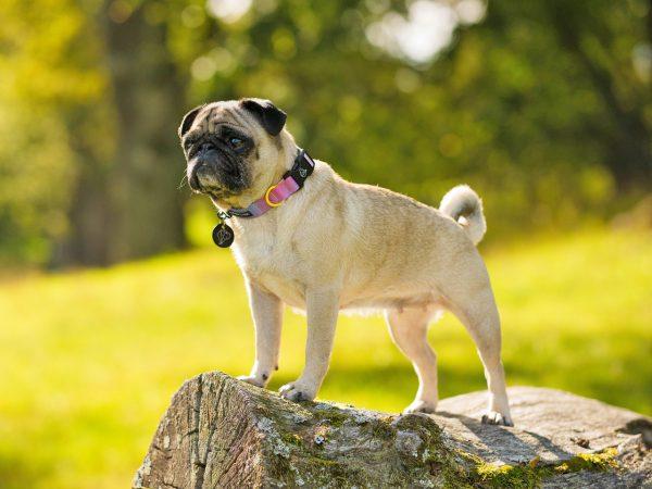 smoothie obroża z klamra modna dizajnerska warsaw dog