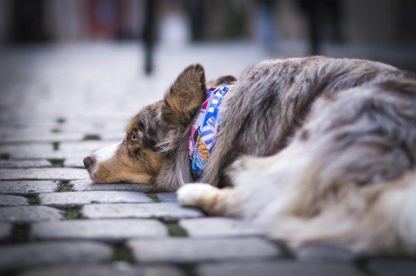 Pies w mieście - idealna chusta dla psa