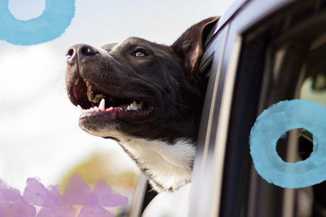 Jak bezpiecznie przewozić psa samochodem? Jakie akcesoria wybrać?