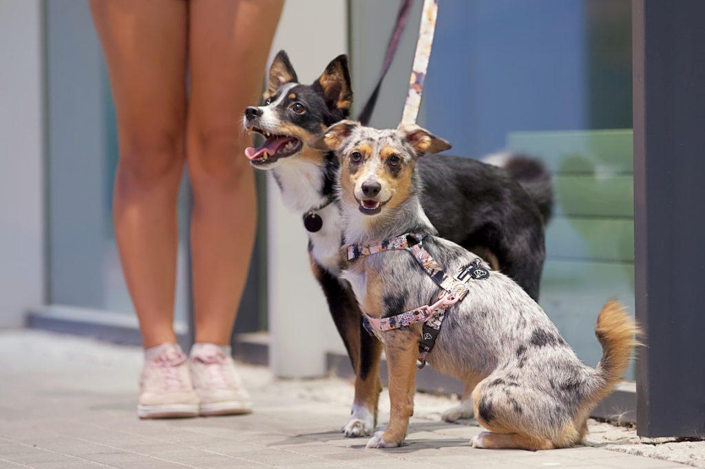szelki dla psa dizajnerskie różowe złoto rose gold warsaw dog