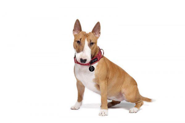 obroża różowa panterka na zatrzask obroże dla psów bulterier