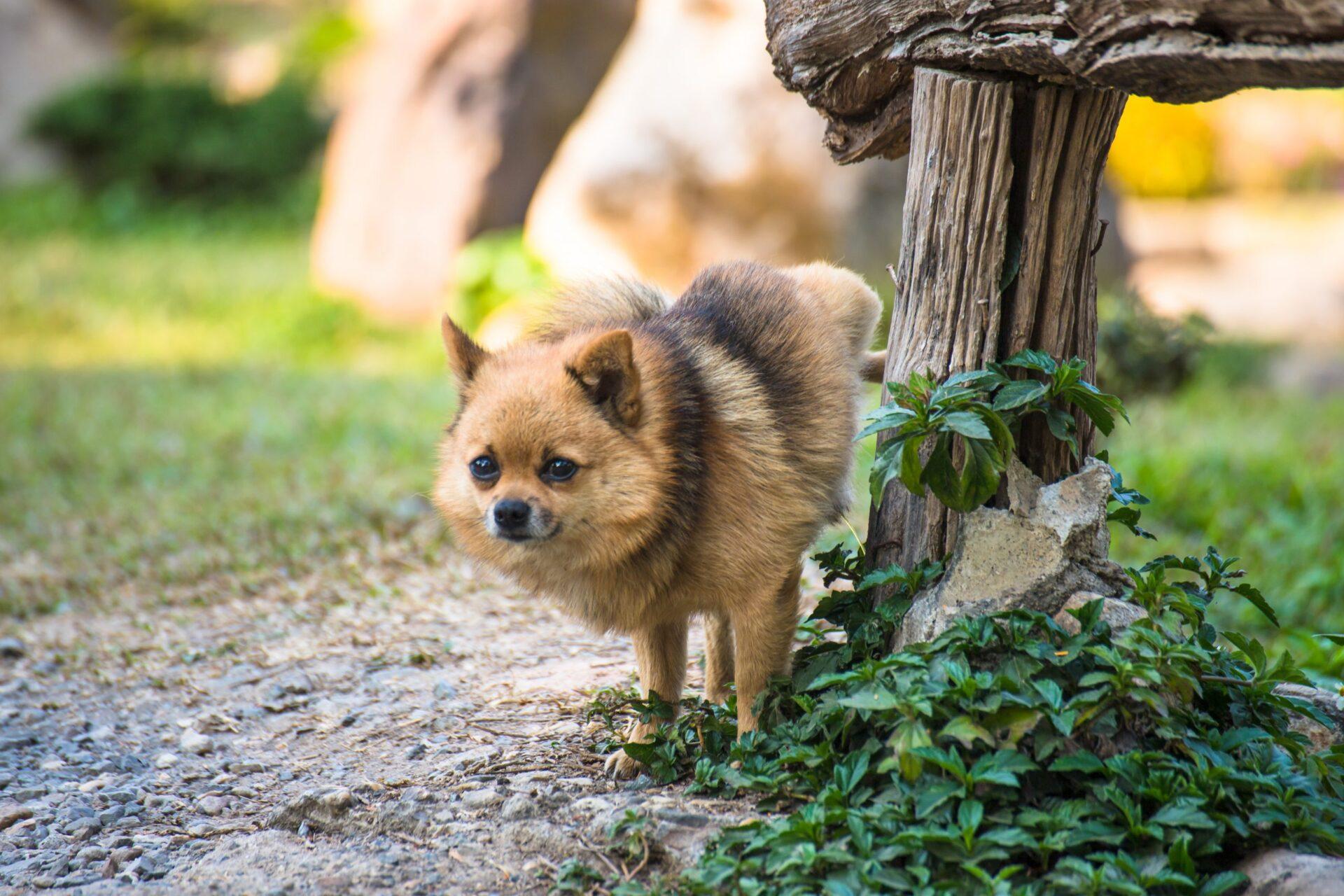 Jak nauczyć psa załatwiać się na dworze?