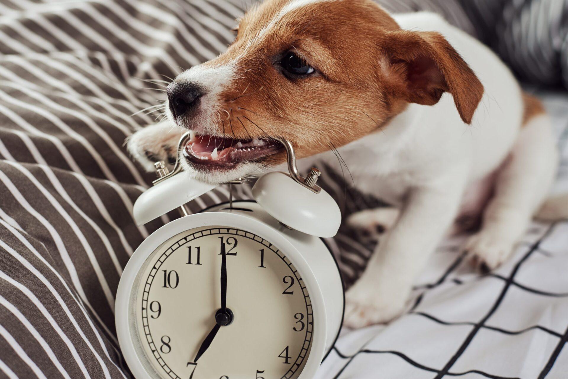 Jak oduczyć psa gryzienia? Jack russel terrier gryzie zegarek