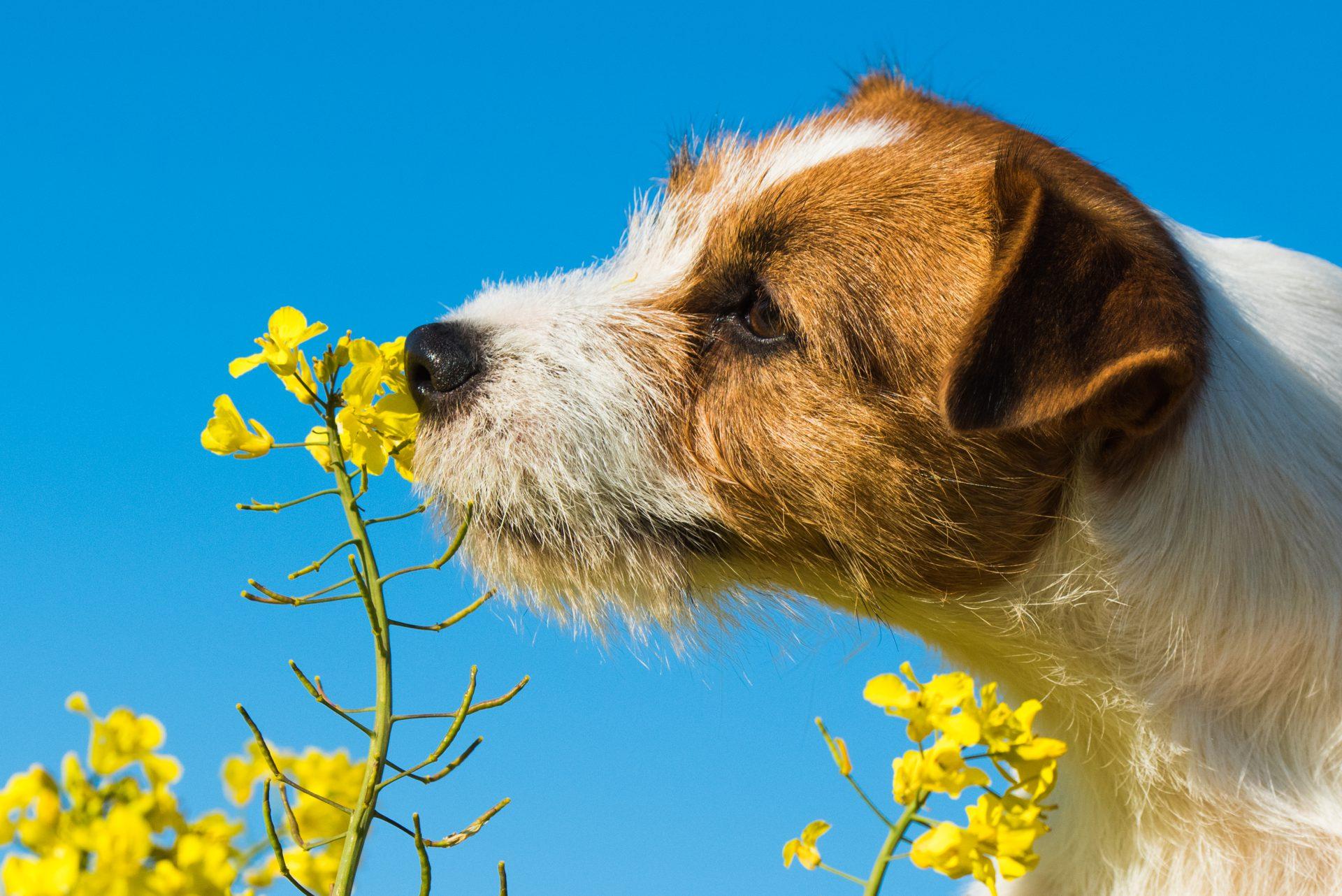Jakiego zapachu nie lubią psy?